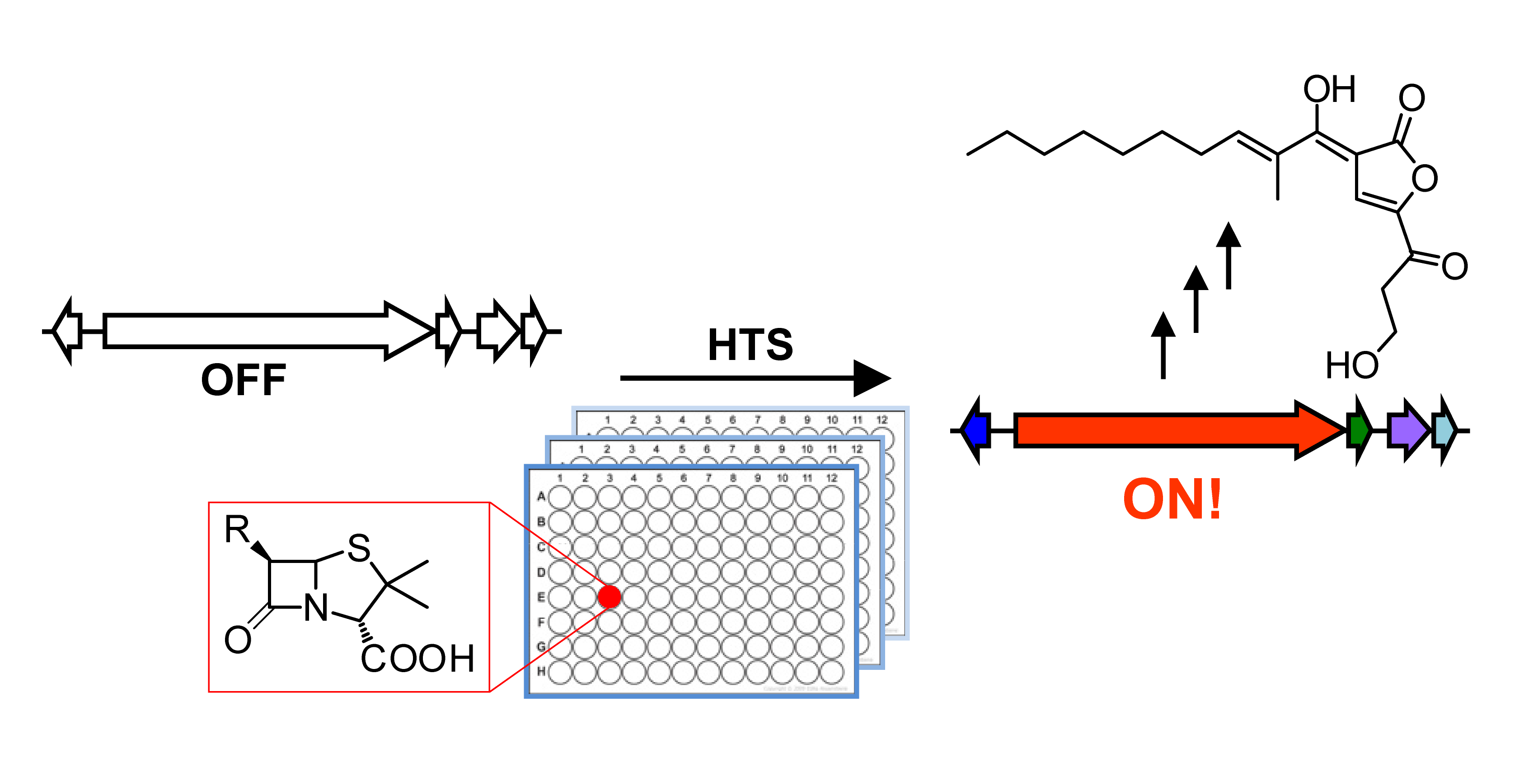 Figure 1. Our strategy for activating silent gene clusters. A reporter gene inside the gene cluster of interest affords a facile read-out for its activity while small molecule libraries provide candidate elicitors. High throughput screening identifies activators for the target cluster facilitating elucidation of the products structure and function.